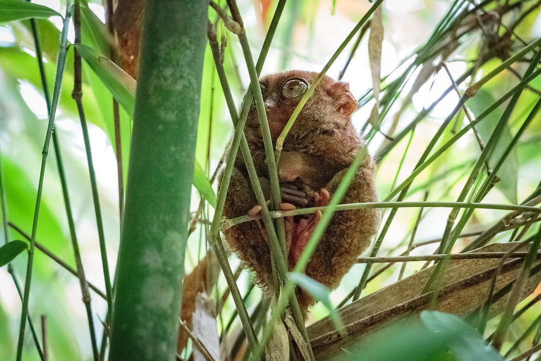 Tarsier in bamboo
